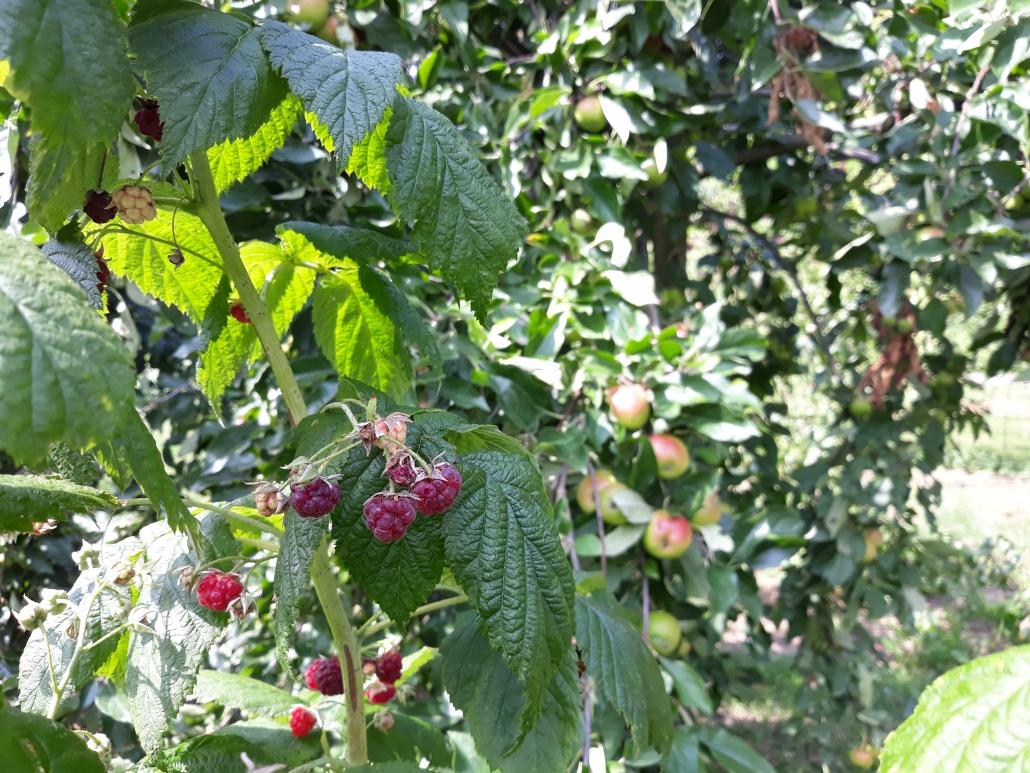 appels en frambozen uit eigen tuin