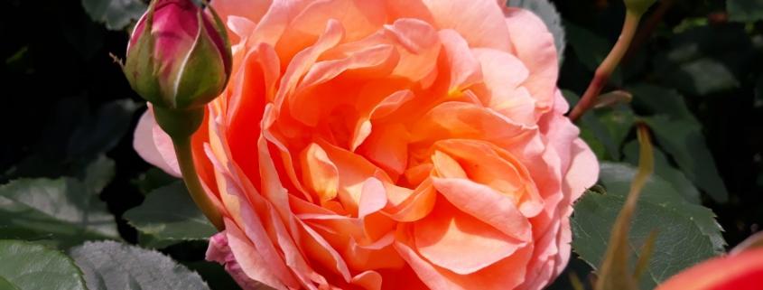 Juni rozenmaand